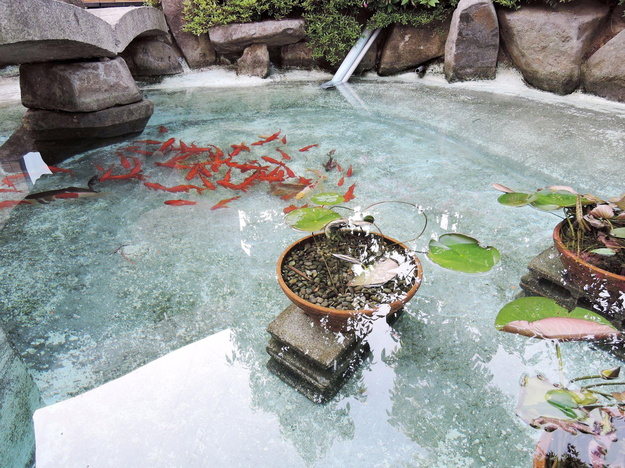 金魚が泳ぐ池