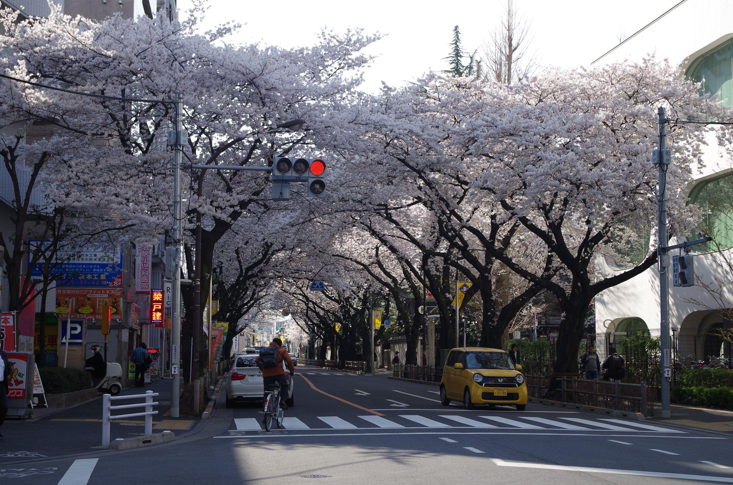 ホーム前の桜並木
